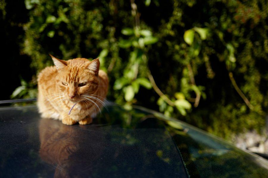 Ginger cat sat on car roof