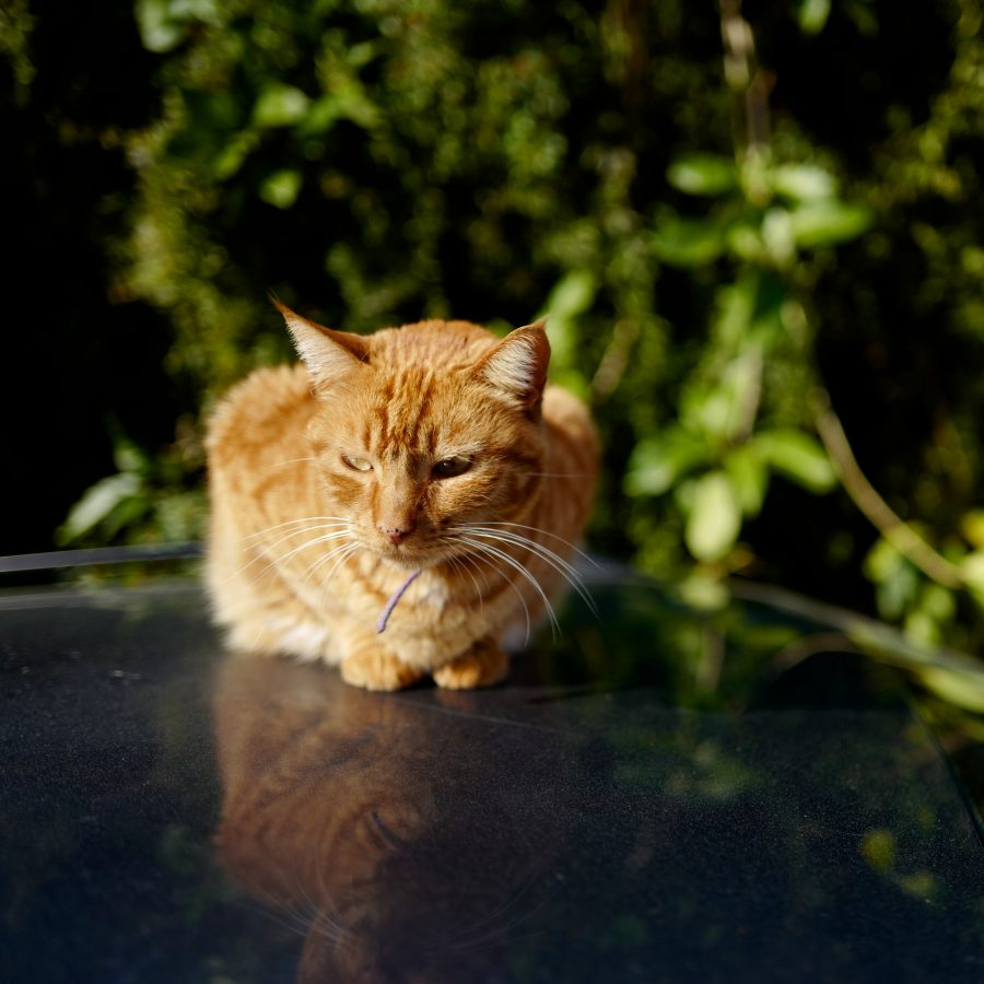 Ginger cat on a car roof